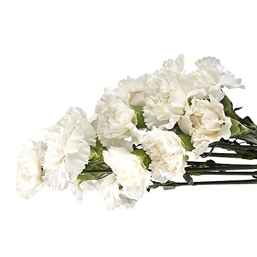 Cut Flowers - Wholesale Carnation White 100 stems by eflowerwholesale
