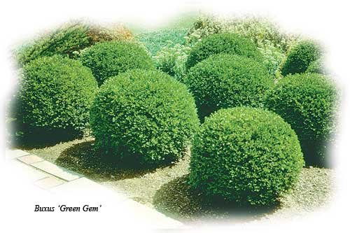 Green Gem Boxwood - Quantity 10 Live Plants in Quart Pots by DAS Farms (No California)