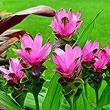 3 Plants Bulbs Pratumrat with Red Siam Tulip Curcuma Alismatifolia Tropical Fresh and Viable