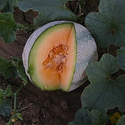 Cantaloupe Melon Garden Seeds - Planters Jumbo - Non-GMO, Heirloom, Vegetable Gardening Seeds - Fruit