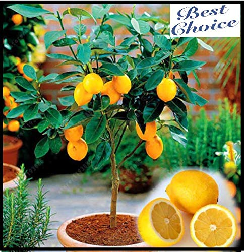 (10 Seeds Dwarf Meyer Lemon Seeds Tree Indoor Outdoor Heirloom Fruit Seeds )