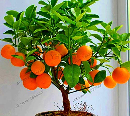 Amazon.com: Bonsai Kiwi – venta 4 frutas, bonsai frutas ...