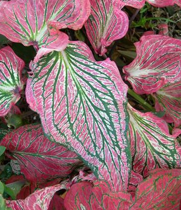 (10) Pink Symphony Caladium, Bulbs, Great for any Garden, Great as a ()