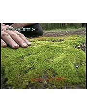 200pcs graines de mousse, Sagina subulata graines, des graines d'herbe décoratifs bonsaïs mousse, plante en pot pour le jardin de la maison de bricolage