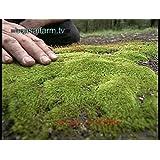 200pcs moss seeds,Sagina Subulata Seeds,bonsai moss decorative grass seeds,potted plant for DIY home garden