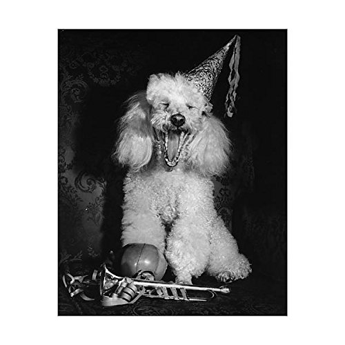 10×8 Print of White poodle in a party hat (14414524) 51dnIq 1YNL