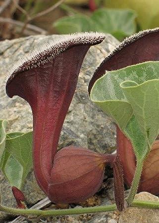 TROPICA - Oreja de zorro (Aristolochia chilensis) - 10 semillas- Magia tropical