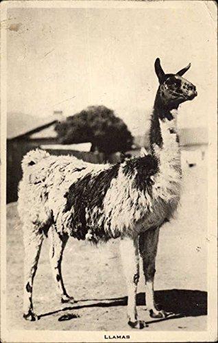 Llama, Peru Other Animals Original Vintage Postcard
