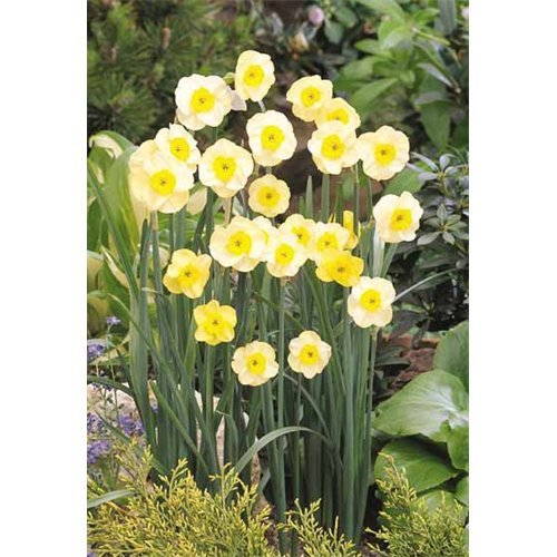 - 10 Bulbs of Daffodil Jonquilla Sun Disc