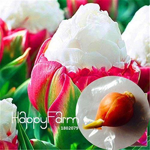 no semillas bulbos de flores de arco iris tulip/án tulip/án flores raras 1 jard/ín materiales de plantas 100/% de germinaci/ón 2 PC verdaderos bulbos de tulip/án