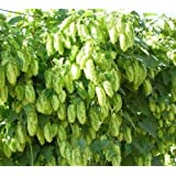 Portal Cool El Dorado Hop Seed * Bulk 100 Seeds* Tropical/Fruity Flavor * Cash Crop * Beer
