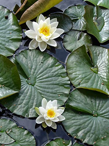 Home Comforts Framed Art for Your Wall Pond Water Lily Plant Aquatic Aquatic Plant Vivid Imagery 10 x 13 Frame by Home Comforts (Image #4)