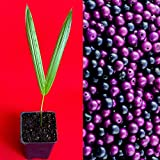 US Warehouse, Live Plant (Not Seed or Bulb),  Acai Euterpe Oleracea Fruit Palm Tree Seedling Starter Plant