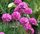 100 Fresh Seeds - Armeria Maritima Splendens Flower - Perennial