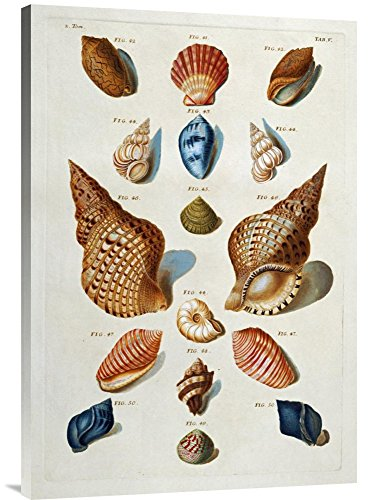 (Global Gallery Budget GCS-267096-36-142 Franz Michael Regenfuss A Selection of Seashells Gallery Wrap Giclee on Canvas Wall Art Print)