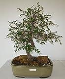 [Bonsai Gardens] Highest Quality, Small Small Leaf Elm Bonsai Tree by Bonsai Gardens Of CT