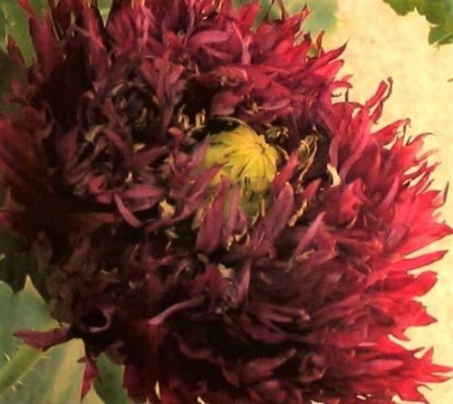 250 Black SWAN Peony Poppy Papaver Somniferum Dark Burgundy Double Flower ()