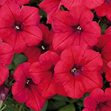 SUPERCASCADE RED Petunia Seeds - Excellent for Hanging Baskets, Very Large Blooms, Fresh Seed (30-35 seeds)