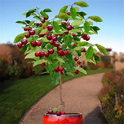 semillas de frutas 30pcs semillas de árboles de cerezo Semillas de Bonsái, Jardín Inicio Planta de tiesto jardín de DIY decoración AA: Amazon.es: Jardín