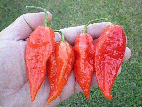 (1000) ECUADORIAN DEVIL'S BREATH Pepper Seeds by MW061