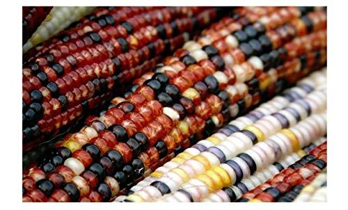 indian corn ear - 7
