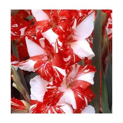 (3) Simply Beautiful Flowering Bulbs Gladiolus Zizane Extra Large Bulbs, Plant, Start Gladioli : Garden & Outdoor