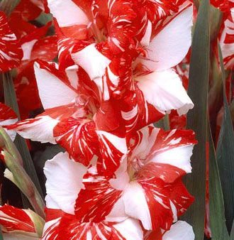 (3) Simply Beautiful Flowering Bulbs Gladiolus Zizane Extra Large Bulbs, Plant, Start Gladioli