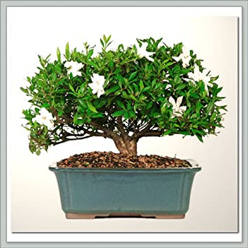 Perfect Nursery Direct Gardenia Bonsai III From Joebonsai