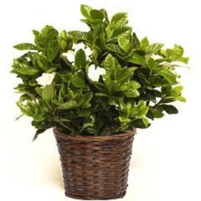 Beautiful Large Fragrant White Gardenia in Woven Basket - Sympathy Gift - Bereavement Gift - Sympathy Flowers - Sympathy Basket - Live Plant - Green Gift - Ships fast via 2-Day Air