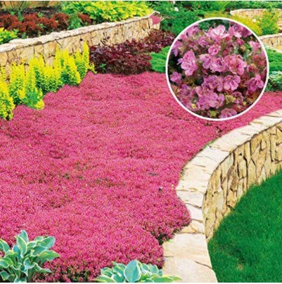 (Seeds House- Caiuet 50 Winter Hardy Plants Creeping Thyme Ground Cover Flowers
