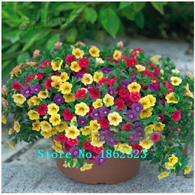 free shipping Bag seeds flower seeds hanging petunia seeds flowers large flower morning glory seeds -500 pcs ()