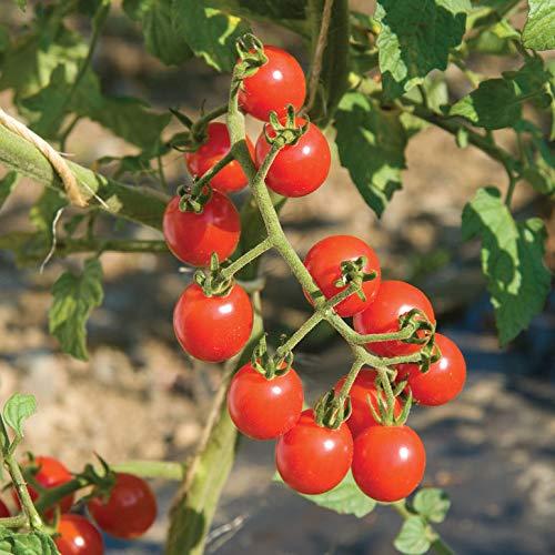 David's Garden Seeds Tomato Cherry Jasper SL1003 (Red) 25 Organic Hybrid Seeds by David's Garden Seeds