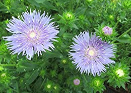 Stokes' aster containing the single species of flowering plants .: Stokesia laevis