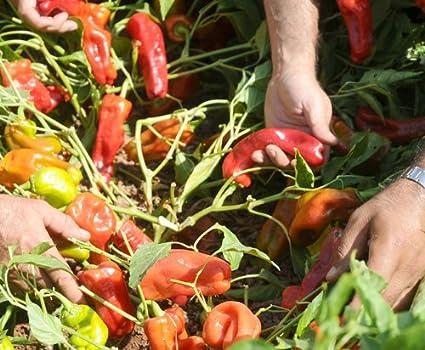 Amazon.com   Urfa Biber-Isot Pepper 10+ Seeds   Garden   Outdoor a209a72f27