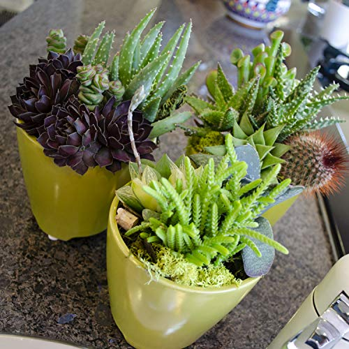 Altman Plants Assorted Live Tray mini succulents bulk for planters, 2.5'', 32 Pack by Altman Plants (Image #4)