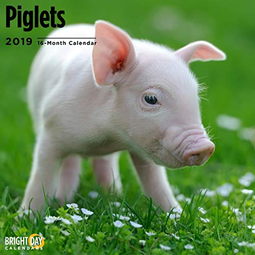 Farm Animals Wall Calendars by Bright Day Calendars 16 Month Wall Calendar 12 x 12 Inches (Piglets 2019)
