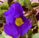 PURPLE KINGS MANTEL Thunbergia Erecta Live Semi-Tropical Plant Vivid Purple Trumpet Shaped Flowers Starter Size 4 Inch Pot Emerald tm