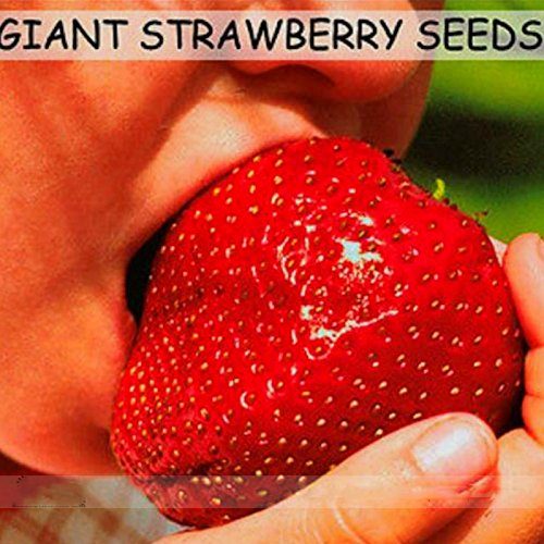 Adb Inc Super Giant Red Strawberry Fruit Seeds Apple Maximus Sized
