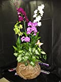 4 Blooming / Budded FLOWERING Dendrobiums Orchid PLANTS in a Decorative Basket-Elegant & Nice- A Gift of Aloha!
