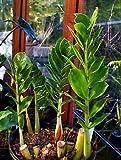 """Rare ZZ Plant-Zamioculcas zamiifolia - Easy to Grow House Plant - 4"""" Pot"""