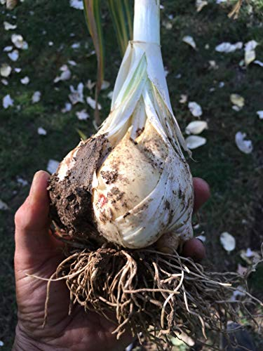 Equine Environmental Consulting, Inc. Kentucky's Best Elephant Garlic 2 Bulbs: Plant or Eat - Raw or Cooked, Non-GMO, All Natural price tips cheap