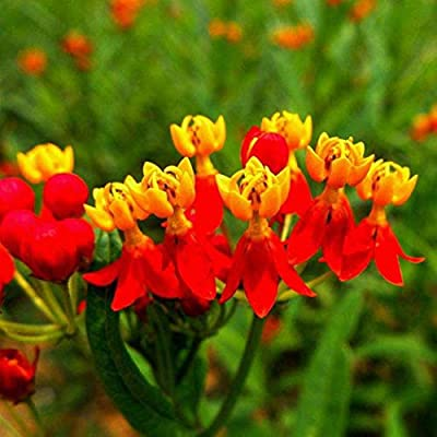 KOUYE GardenSeeds- Butterfly Milkweed/Monarch Flower (Asclepias incarnata) Orange Asclepias Plant Seeds Scented-Flowering Autumn Blaze Flower Seeds Hardy Perennial for Balcony, Garden : Garden & Outdoor