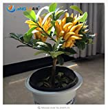fino shop 50 Pcs/Bag, Bergamot Seeds, Family Potted Plants,Gold Buddha Hand, Purify Air,Seeds Yellow Gold Buddha Hand