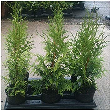Cedar Red Tree Trunk - 15 Seeds Western Red Cedar Seeds (Thuja plicata) Tree