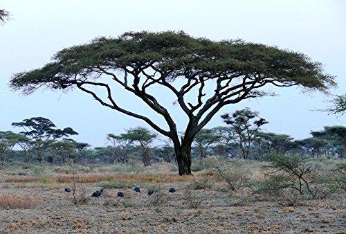 50 Acacia tortilis Seeds Umbrella thorn Seeds