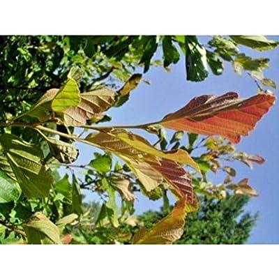 5 Sandra Vernal Witch Hazel Seeds #RDR02 : Garden & Outdoor