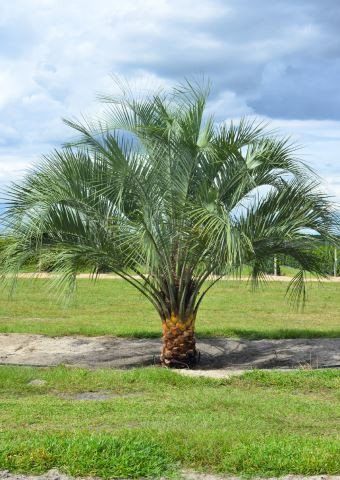 Pindo Palm Tree - Pindo Palm Tree, 4 Ft Tall by Hardy Palm Tree Farm