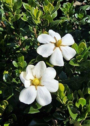 Amazon southern living gardenia scentamazing ornamental southern living gardenia scentamazing ornamental landscape bush green foliage white flowers mightylinksfo