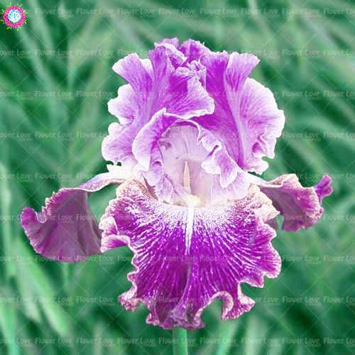 (Seed 20pcs Bonsai Iris Plants Bearded Iris Plant Rare Iris Phalaenopsis Orchid Bonsai Flower Plants Perennial Garden Flower)