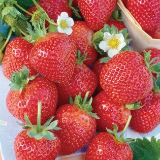 20 Everbearing Eversweet Strawberry Plants - Outstanding flavor! (20 Bare Root Plants) Best in Zones: 4-9.